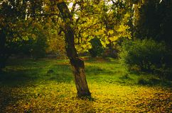 Autumn, a tree with yellow falling leaves Royalty Free Stock Images