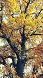 Autumn. Tree with yellow leaves Royalty Free Stock Photos