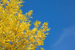 Autumn tree with yellow leaves against the blue sky. Autumn tree with yellow leaves in the sunlight against the blue sky. Gold autumn Stock Images