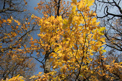 Autumn tree, yellow leaves. And blue sky Stock Photo
