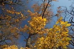 Autumn tree, yellow leaves. Blue sky Stock Photos