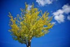 Autumn tree with yellow leaves Stock Photo