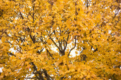 Autumn Tree with yellow leaves Stock Image