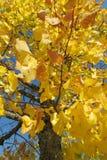 Autumn tree yellow leaves. Golden colors of autumn season Stock Photos