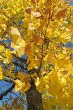 Autumn tree yellow leaves Stock Photos