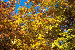 Autumn tree with yellow leaves. Autumn maple, oak tree with yellow leaves against blue sky on the background. Selective focus Royalty Free Stock Photos
