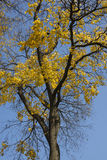 Autumn tree with yellow leaves Stock Photography