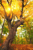 Autumn tree with yellow leaves. Autumn tree in park with yellow leaves and sun rays Stock Photos