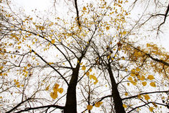 Autumn tree with yellow leaves Royalty Free Stock Photos