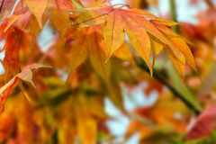 Autumn tree with yellow, orange leaves, natural background. Royalty Free Stock Images