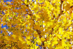Autumn tree yellow. Autumn sky tree yellow leaves nature beautiful sunny blue branch Birch Royalty Free Stock Images
