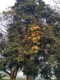 Autumn. Tree yellowLeaves cold weather india Royalty Free Stock Photo