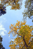 Autumn trees. Colorful autumn view, large branches bottom view against the sky Royalty Free Stock Images