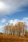 Autumn Trees. Autumn woods on withered and yellow grassland Royalty Free Stock Images