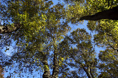 Autumn Trees. Against a cloudless sky Royalty Free Stock Photos