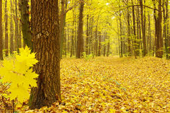 Autumn trees. Colorful autumn trees in forest Stock Photos