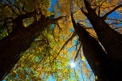 Autumn trees Royalty Free Stock Photo