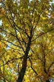 Autumn trees. Colored leaves on trees in autumn Stock Photos