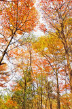 Autumn trees Royalty Free Stock Image