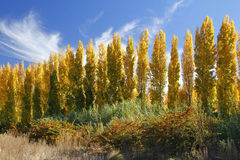 Autumn trees. Autumn poplar trees complimented by blue skies Stock Image