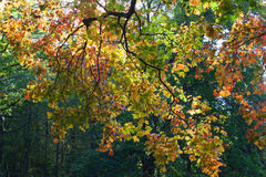 Autumn trees. Royalty Free Stock Images
