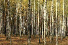 Autumn trees. With yellowing leaves Royalty Free Stock Photography