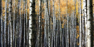 Autumn trees. With yellowing leaves Royalty Free Stock Photos
