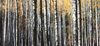 Autumn trees. With yellowing leaves Stock Image
