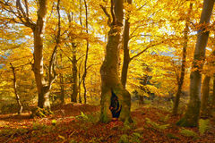 Autumn trees. At sunrise with a yellow color of leaves Royalty Free Stock Images