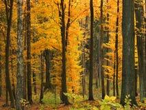 Autumn trees. Golden autumn trees in forest, Poland Stock Photo
