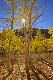 Autumn Trees. A small autumn birch grove high in the Sierra Nevada royalty free stock photo