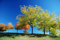 Autumn trees. Orange and green autumn trees on perfectly clear blue sky royalty free stock image