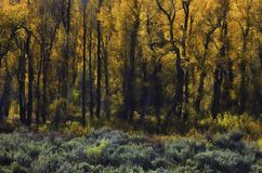 Autumn trees. The change colors in grand teton national park wyoming are amazingly beautiful Stock Image