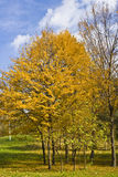 Autumn Trees. Cluster of trees with autumnal foliage in the park Stock Images