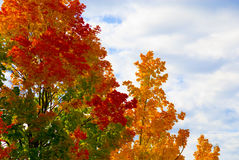 Autumn Trees. Some trees in autumn colors in front of the lue cloudy sky Royalty Free Stock Images