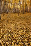 Autumn leaves. Autumn aspen trees in Rocky Mountain forest Royalty Free Stock Photos