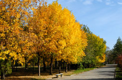 Autumn trees. Yellow leaves on autumn trees against the blue sky Stock Images