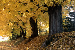 Autumn trees. Row of trees beside a country road Royalty Free Stock Photo