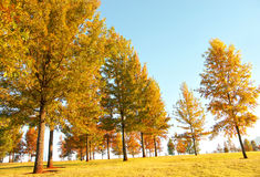Autumn trees. On a golf course Stock Photo