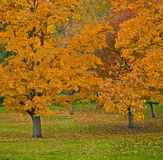 Autumn Trees. Colorful, autumn trees in an arboretum in October Royalty Free Stock Photography