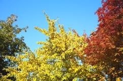 Autumn trees. Royalty Free Stock Photo