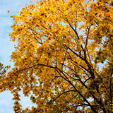 Autumn trees background. Stock Images