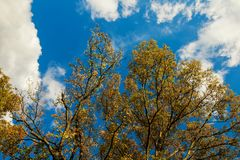 Autumn tree with yellow leaves over the blue sky background Royalty Free Stock Photography