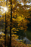 Autumn trees. Backlit golden autumn trees at a lake Royalty Free Stock Image