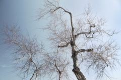 Autumn trees. Barren autumn trees without leaves, against the sky stock photos