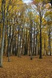 Autumn trees. Beautiful view of the forest in autumn period, the trees are dressed in colorefull leaves Stock Photography