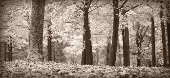 Autumn trees, black and white. Autumn forest scene in black and white with a hint of warm tones Stock Photos