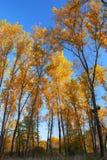 Autumn trees and blue sky Royalty Free Stock Photos