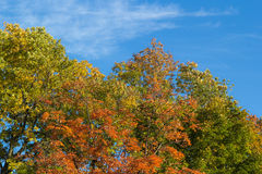 Autumn trees and blue sky Royalty Free Stock Image