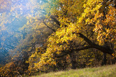 Autumn trees. With bright yellow leaves in the park Stock Photography